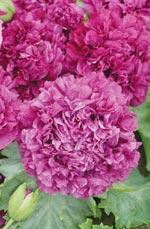 Pionvallmo, Papaver paeoniflorum 'Purple Passion'