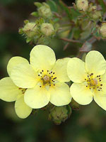 Potentilla fruticosa 'Limelight'