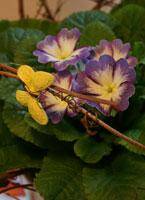 Primula lila/vit