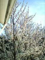 Prunus avium, fågelbär