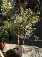 Prunus kurilensis 'Ruby' i kruka