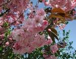 Prunus sargentii 'Rosensky'
