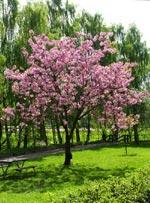 Prunus serrulata 'Ito-kukuri'