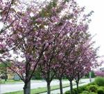 Prunus serrulata 'Kanzan' som alléträd
