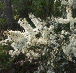 Prunus spinosa, slån
