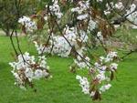 Prunus yedoensis 'Shidare Yoshino'