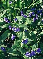 Pulmonaria Longifolia