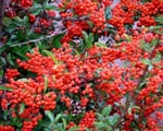 Pyracantha coccinea 'orange glow'