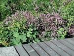 Rabatt med bänk, bakom bänken Thalictrum rochebrunianum. Det var stora, höga plantor som planterades, men de har blåst omkull.