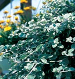 Rabatteternell Helichrysum petiolare