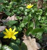 Svalört, Ranunculus ficaria med pantersnigel