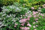 Rh. roseum, x gowenianum och luteum