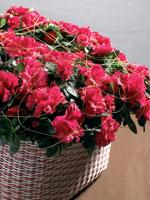 Rumsazalea, Rhododendron simsii