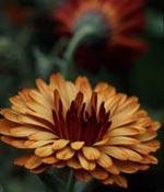 Ringblomma, Calendula officinalis 'Antares Flashback'