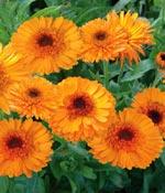 Ringblomma, Calendula officinalis 'Princess Orange and Black'