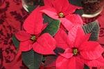 Röd Jul med klassisk julstjärna