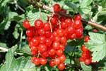 Gallra krusbärs- och vinbärsbuskarna nu efter skörden.