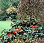 Våga blanda! Här syns röda och lila tulpaner i en matta av mörkbladiga klippstånds.