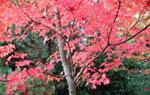 Acer rubrum 'October Glory', rödlönn