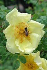 Rosa hugonis