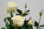 Rosa hybrid 'Greenland Forever'