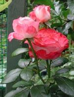Rosa 'Nostalgie'