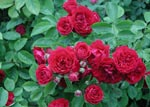 Rosa soulieana 'Chevy Chase'
