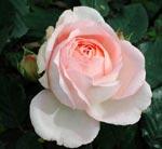 Rosa 'Clair Renaissance'