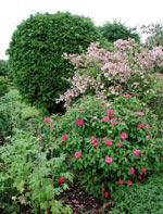 Rosa de Recht, Paradisbuske och Idegran