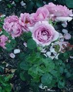 Rosa 'Harry Edland'