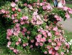 Rosa 'Marquerite Hilling' s 'Pink Nevada'