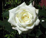 Rosa Polarstern