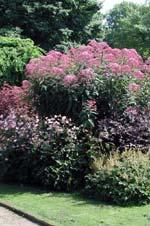 Rosenflockel mitt i en rund rabatt. Bredvid den till vänster ses en buske, Berberis thunbergii 'Rose Glow'. Framför dem till vänster en rosablommande höstanemon, bredvid den en mörkbladig Cimicifuga ramosa 'Brunette' och framför den en knoppig Astilbe.