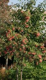 Prydnadsrönn 'Rosmari' har vackert rosa bär och blir ett mellanstort träd.