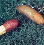 Granska växter som du köper eller får sa att det inte följer med någon liten ungsnigel.