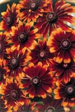 Rudbeckia hirta v. pulcherrima 'Chocolate Orange'