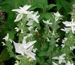 Salvia viridis 'Marble Arch White'