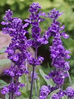 Daggsalvia, Salvia farinacea 'Evolution'