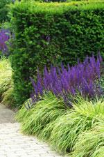 Stäppsalvians blå färg gör sig fint ihop med till exempel limegrönt, som här hos hakonegräset, Hakonechloa macra 'Aureola', men även den vanligare jättedaggkåpan fungerar mycket fint. Stäppsalvian på bilden heter 'Caradonna', en relativt ny (år 2000) sort med höga (60-70 cm) och mörka stjälkar och som blommar tidigast av alla stäppsalviasorter, redan i mitten av juni börjar den blomma för fullt.