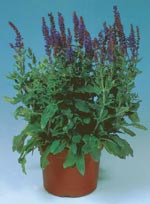 Honungssalvia, Salvia x superba
