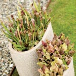 Sarracenia hybrid