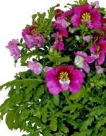 Fjärilsblomster - Schizanthus pinnatus
