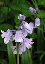 Scilla campanulata, syn. Scilla hispanica, klockhyacint. En sirlig, vacker försommarblommare som finns i blått, vitt och rosa.
