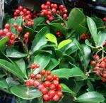 Skimmia japonica 'Scarlet Dwarf'