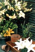 Liljor i kruka eller som snittblomma ger långvarig blomsterglädje.