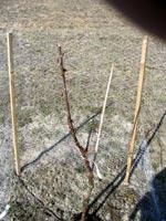 Väl skyddat körsbärsträd men för sent. Trädet kommer att överleva men det blir inte vackert.