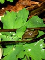 Här dåsar en dallrande liten höstsnigel på ett sommarfräscht akvilejablad.