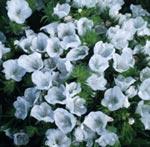 Snokört, Echium plantagineum 'White Bedder'