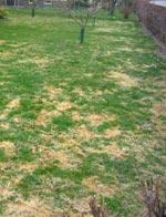 Klipp gräsmattan tätt intill marken och ta bort gräset för att förhindra snömögel. Större träd än äppelträdet på bilden kan inte flyttas.