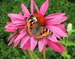Solhatten är en riktig bi- och fjärilsmagnet